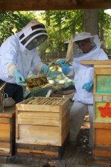 Die Bienen werden mit einer Feder von den Waben gestrichen