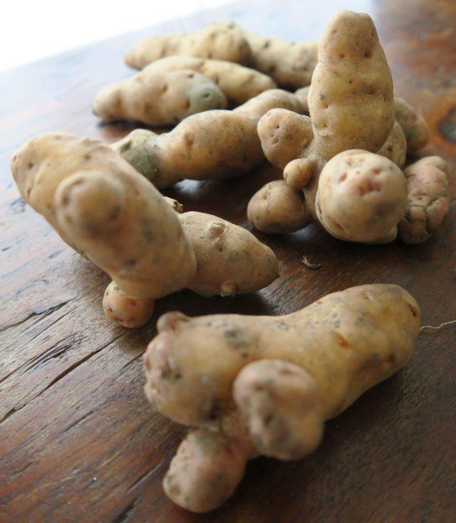 alte Kartoffelsorte Bamberger Hörnchen