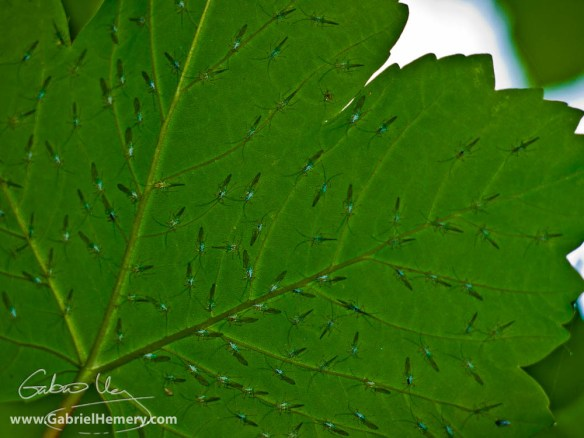 Sycamore leaf and sheltering flies