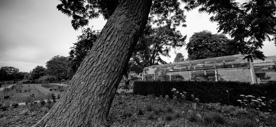 Black walnut in Oxford Botanic Garden