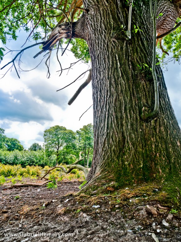 Maiden sweet chestnut and coppice