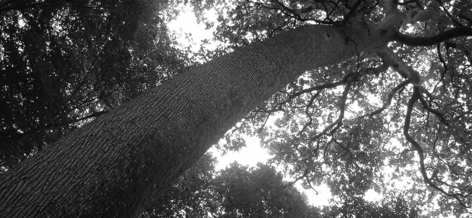 Chene d'Ecole, Belleme Forest
