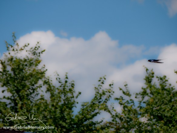 Swallow and trees