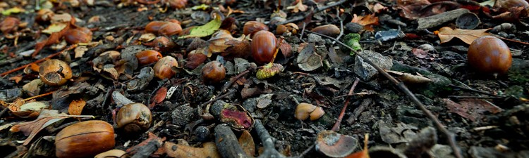 Acorns and dog walking