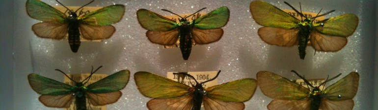 Forester moths