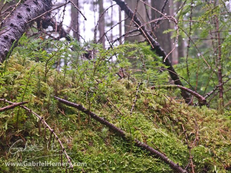 Young western hemlock seedings growing in the moss on a nurse log