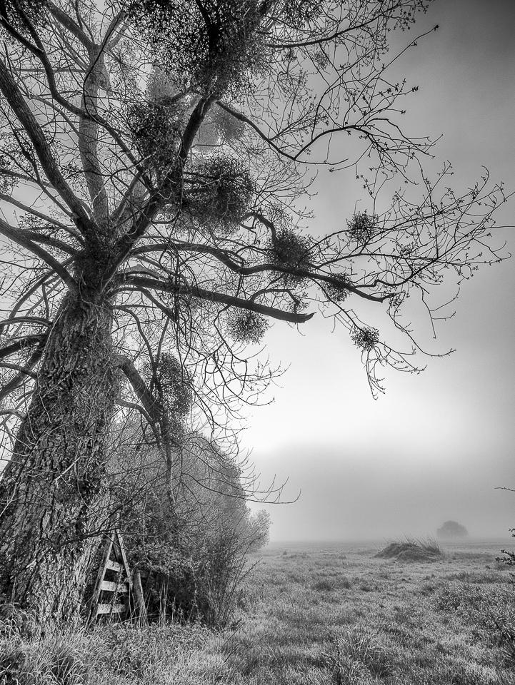 poplar and mistletoe in Normandy, France