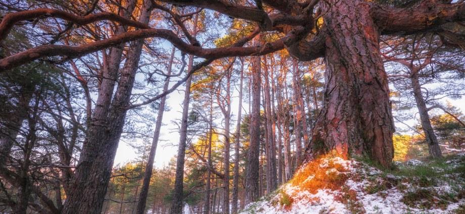 Granny Scots pine aglow