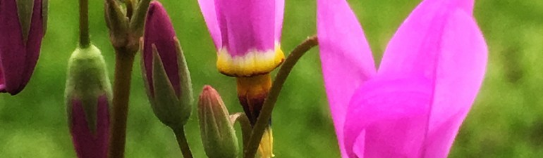 Dodecatheon jeffreyi - Jeffrey's shooting star