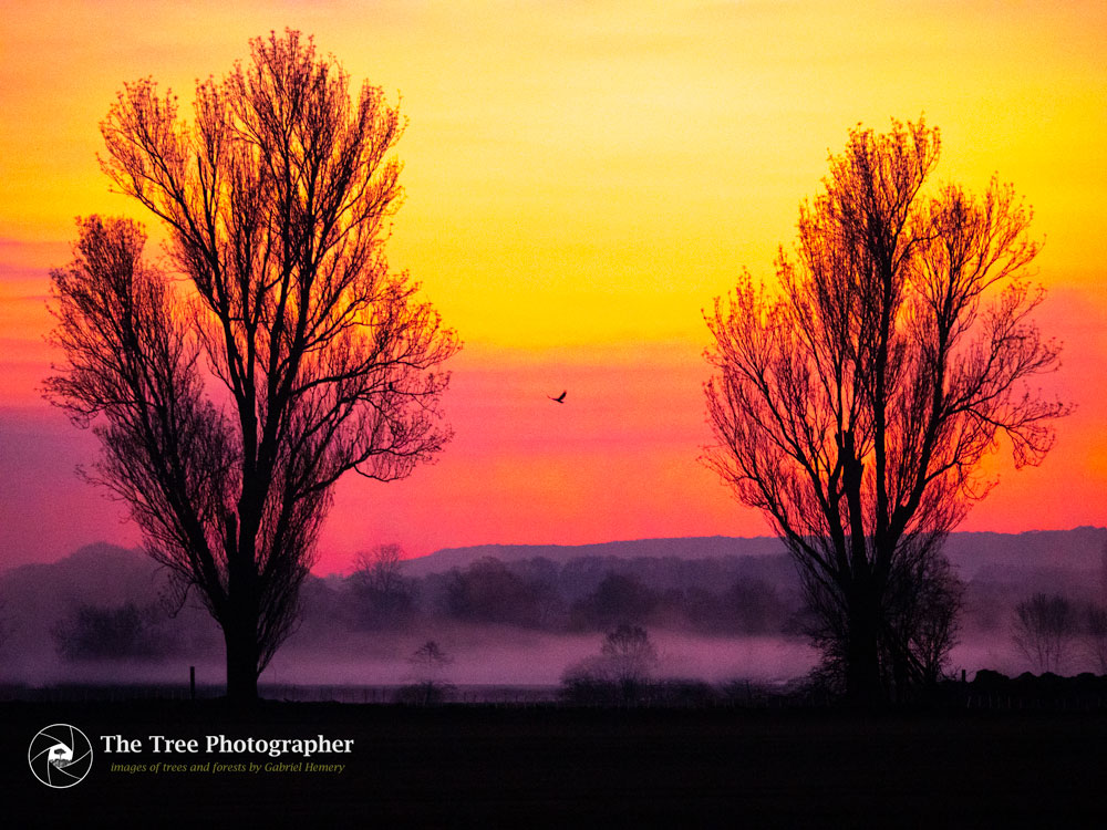 Dawn in rural Oxfordshire with spectacular sky colours and to silhouetted trees and a solitary bird. Photo Gabriel Hemery