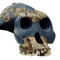 L'Ardipithecus ramidus e le scoperte paleoantropologiche di Afar