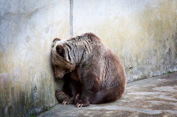 Orso-in-cattività