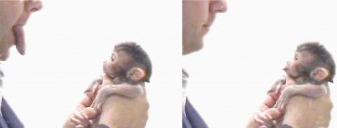 macaco imita