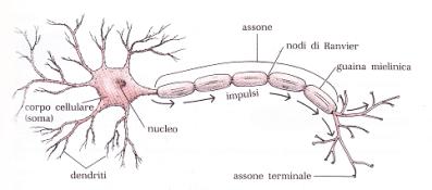 Neurone: l'informazione viene ricevuta dai dendriti e dal corpo cellulare, è integrata nel corpo cellulare che la integra. Successivamente può essere trasmessa con un nuovo impulso che viaggia fino alla fine dell'assine dove viene ricevuta da altri neuroni, ghiandole, muscoli