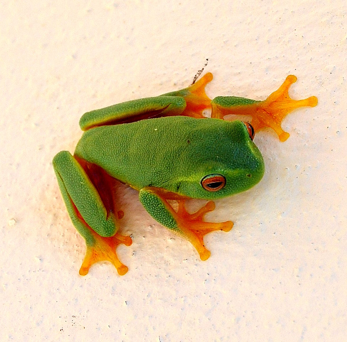 Do Goliath Frogs Live On Land Or In Water