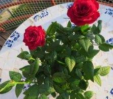 Röda rosor till min mor
