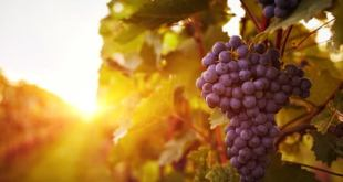 French chemists have an ingenious new use for rotten, discarded wine grapes