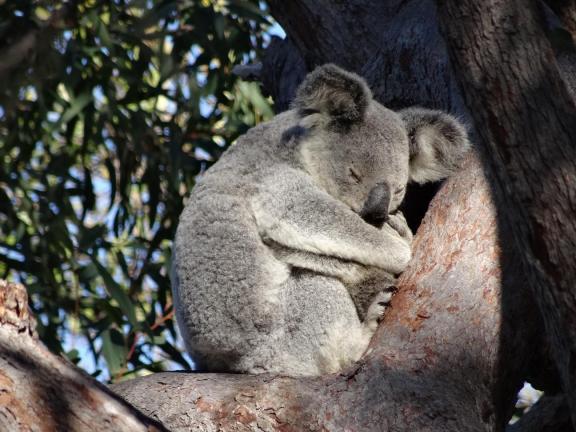 Koala 1 - Magnetic Island (Copy)