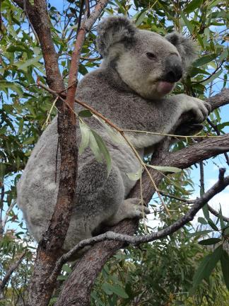 Koala 2- Magnetic Island (Copy)
