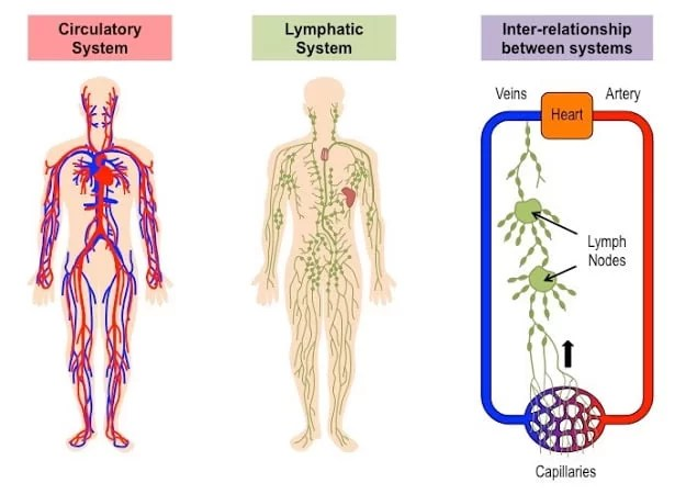 The Lymphatic System and functions explained in details