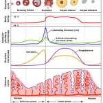 Contraception and the menstrual cycle