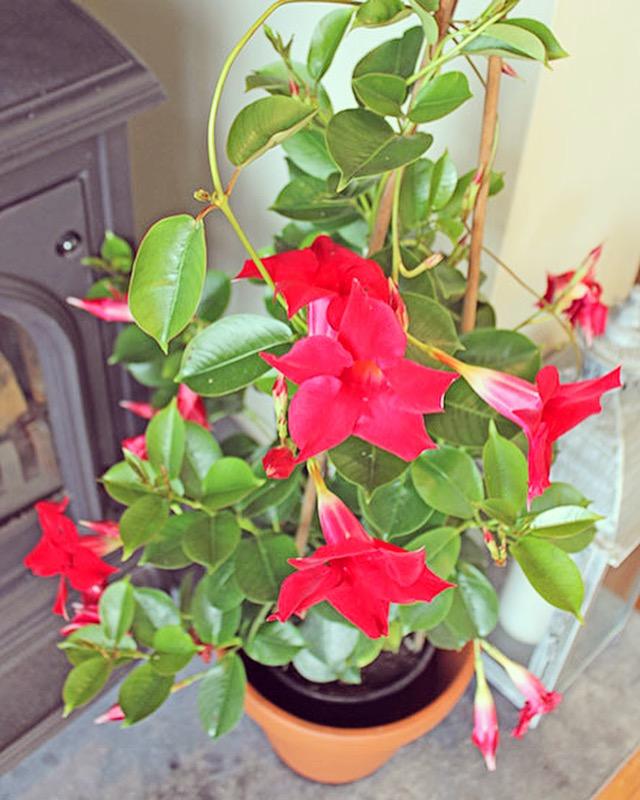 Mandevilla indoor plant