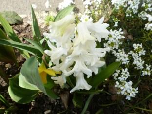 weiße Hiazintenblüten
