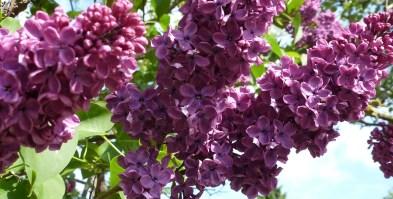 Fliederblütenbusch