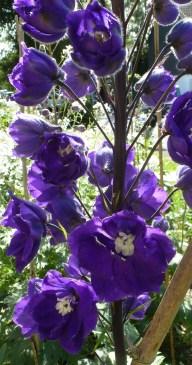 Lila Blütenbusch