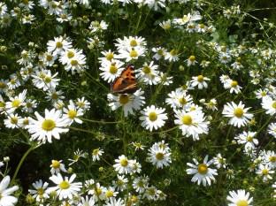 Kamilleblütenfeld mit Schmetterling