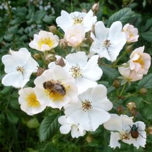 Wildrosenbusch mit Biene