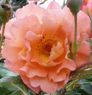 Die rosane Rosenblüte