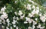 Wilder weißer Rosenstrauch