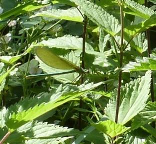 Libelle in grün