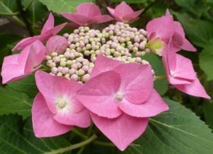 Rosane Hortensieblüte