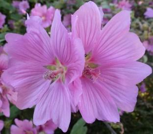 An Traum die rosanen Blüten
