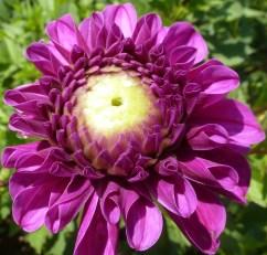 Lila Blüten
