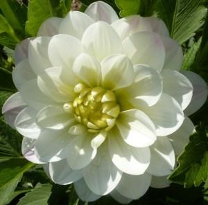 Volle weiße Blüten
