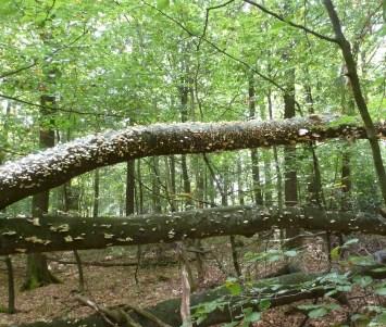 Vom Sturm gestürzte Bäume mit giftigen Pilz befall