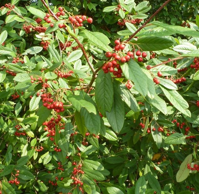 Roter Beerenbusch