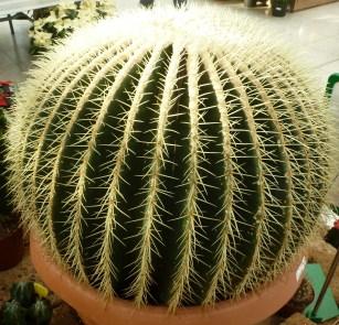 Der Schwiegermutter Kaktus ist 450 Jahre alt im Blumencenter