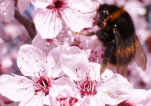 Rosane Blüten mit einer Hummel