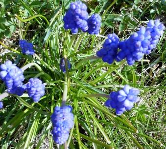 Blaue Frühlingsblüten
