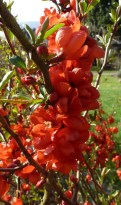 Rote Schönmalve