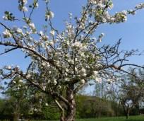 Der Apfelbaum in voller Blüte
