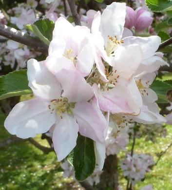 Apfelblüte herrlich an zu sehen