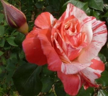 weiß- rosa Rose einfach nur schön