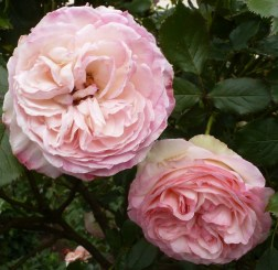 Rosen im Doppelpack
