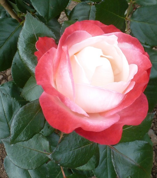 Ein Traum einer Rose