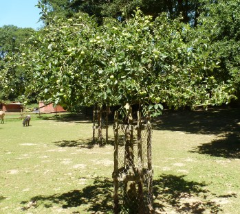 Apfelbaum im Schwanenteichzoo